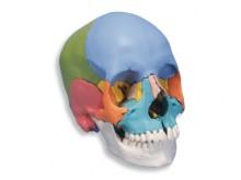 All-In Sport: Ein weiteres anatomisches Modell aus der Reihe der anatomischen Schädel. Dieses spezielle Modell ist eine didaktische Version und eignet ...
