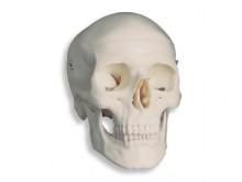 All-In Sport: Das klassische anatomische Schädelmodell für Ihre Einrichtung, Ihren Kurs oder Ihre Unterrichtseinheit.<br />Anhand des Modells  können S...