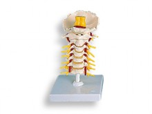 All-In Sport: Die Halswirbelsäule ist ein Teil der Wirbelsäule in unserem Körper und bezeichnet den Abschnitt vom Kopf bis zur Brustwirbelsäule.<br /><...