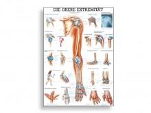 All-In Sport: Ein tolle anatomische Übersicht zu unseren oberen Extremitäten. Geeignet für Therapeuten, Lehrer oder Mediziner.