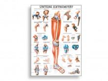 All-In Sport: Übersichtlicher anatomischer Überblick zu unseren unteren Extremitäten. Ideal für Therapeuten, Lehrer oder Mediziner.