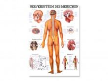 All-In Sport: Das Nervensystem mit allen Bezeichnungen und einer idealen Übersicht, egal ob für Therapeuten, Lehrer oder Mediziner.