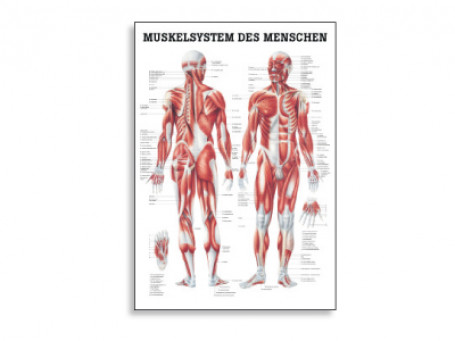 Het spiersysteem anatomische poster