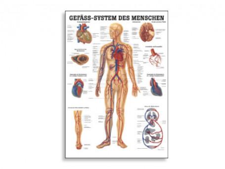 Het vatensysteem anatomische poster