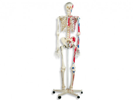 Klassiek skelet met spierweergave
