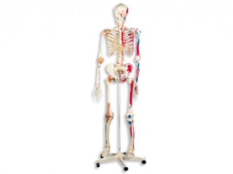 Exclusief skelet met gewrichtsbanden en spieren