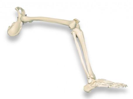Beenskelet met heupgewricht