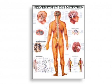 Zenuwsysteem poster