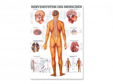 Het zenuwstelsel 70x100 cm gelamineerd